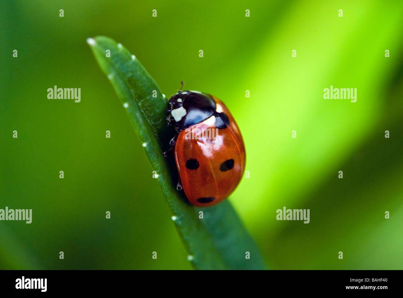 Marienkäfer auf einem Blatt Campanula hautnah. Detaillierten Makroaufnahme Stockbild