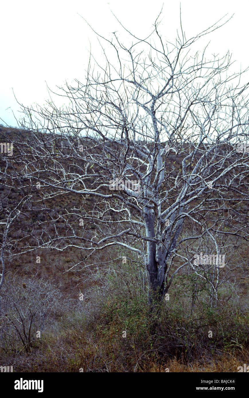 "Galapagos Inseln. Palo Santo Tree' Bursera graveolens"" in der trockenen Jahreszeit. keine Blätter. Stockbild"