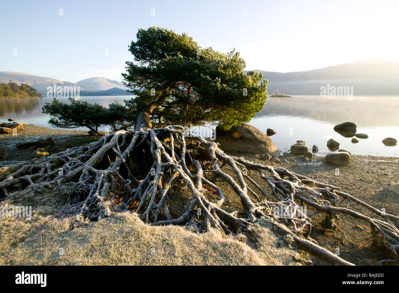 exposed tree root system stockfotos exposed tree root system bilder alamy. Black Bedroom Furniture Sets. Home Design Ideas