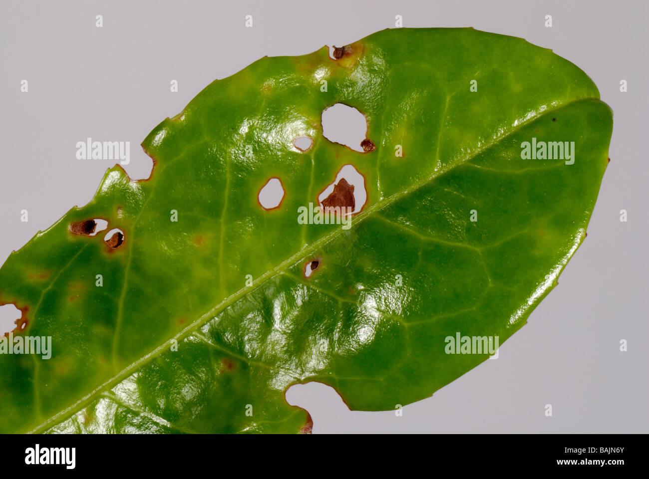 Bakterielle Loch geschossen Xanthomonas Pruni Symptome bei Cherry Lorbeerblatt Stockbild