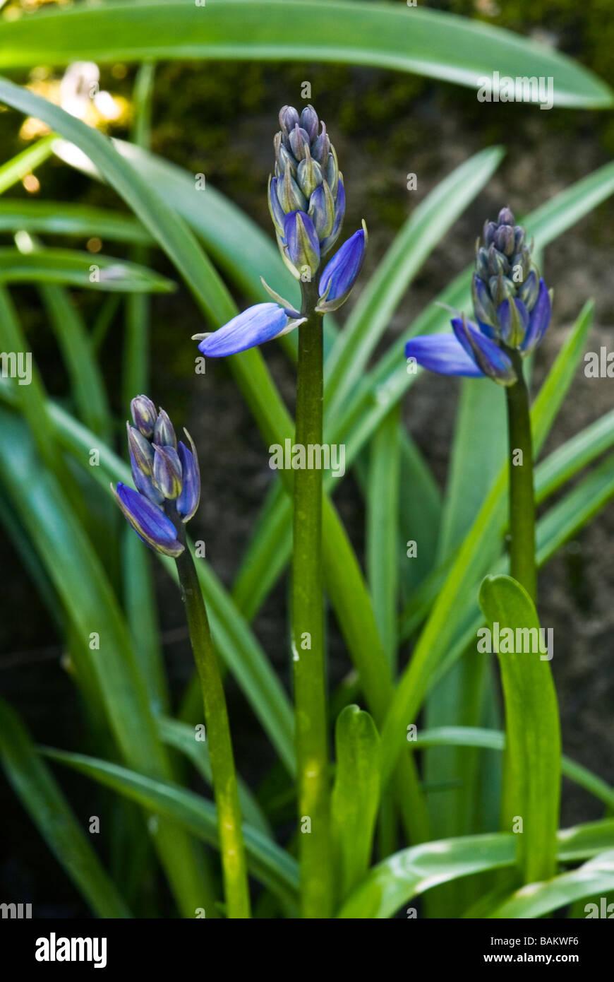 Hyacinthoides Hispanica, Spanisch Bluebell, Nahaufnahme detaillierte Schuss Stockbild