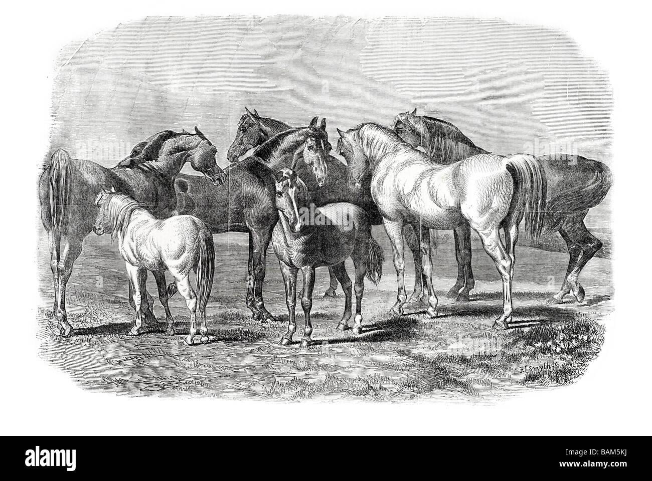 Pferd Pferde Hengst Stute foul Hufen Huftier Säugetier zu zähmen Pferde Ponys Farmerfamilie Arbeit wilde Stockbild