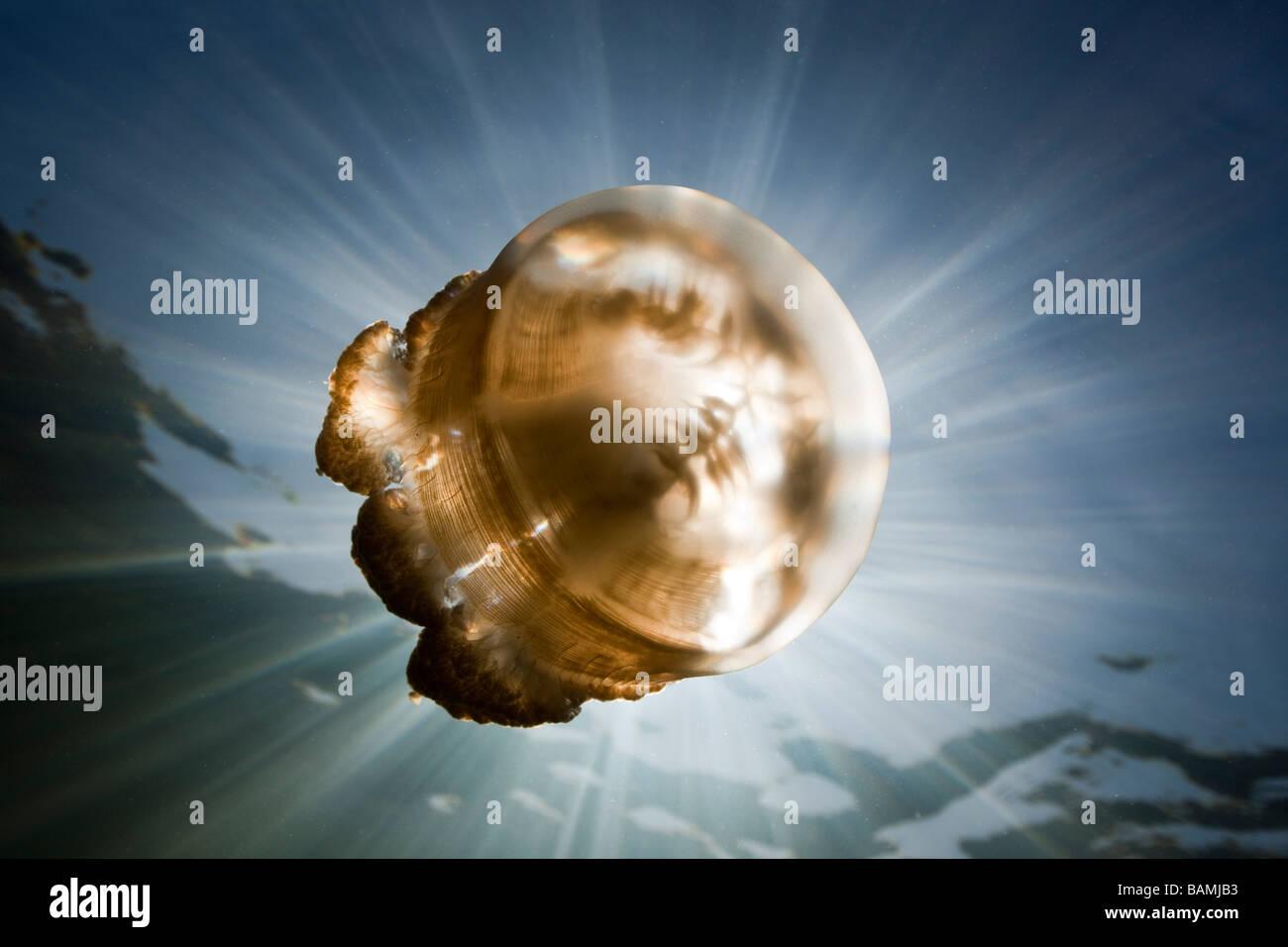 Mastigias Quallen im Gegenlicht Mastigias Papua Etpisonii Jellyfish Lake Mikronesien Palau Stockbild