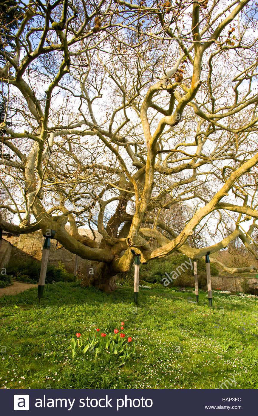 Der Jabberwocky Baum die Inspiration für das Gedicht von Lewis ...