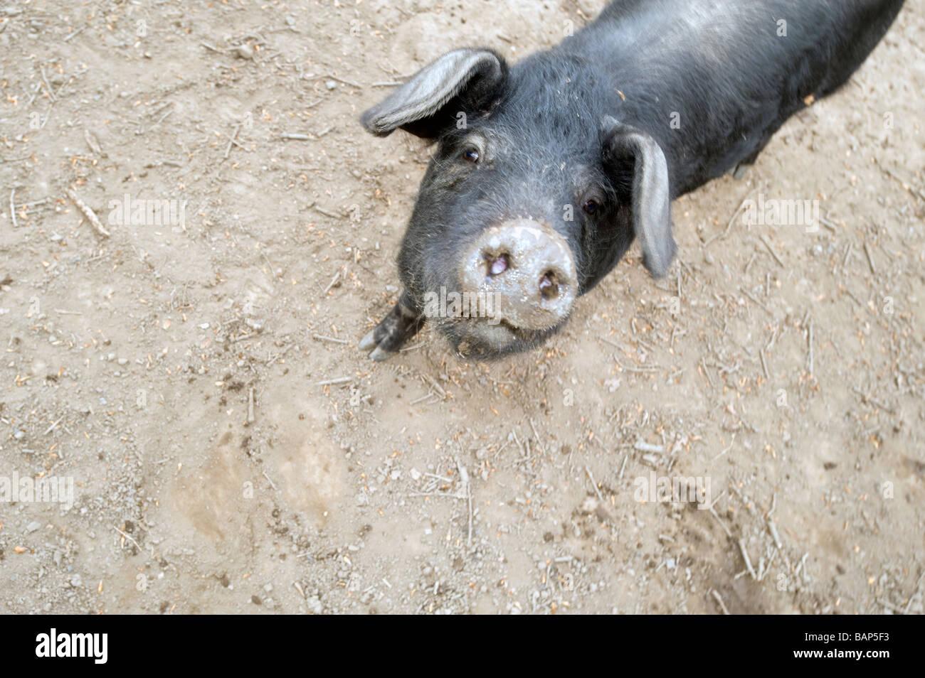 Berühmt Schwein Drahtzaun Design Ideen - Elektrische Schaltplan ...