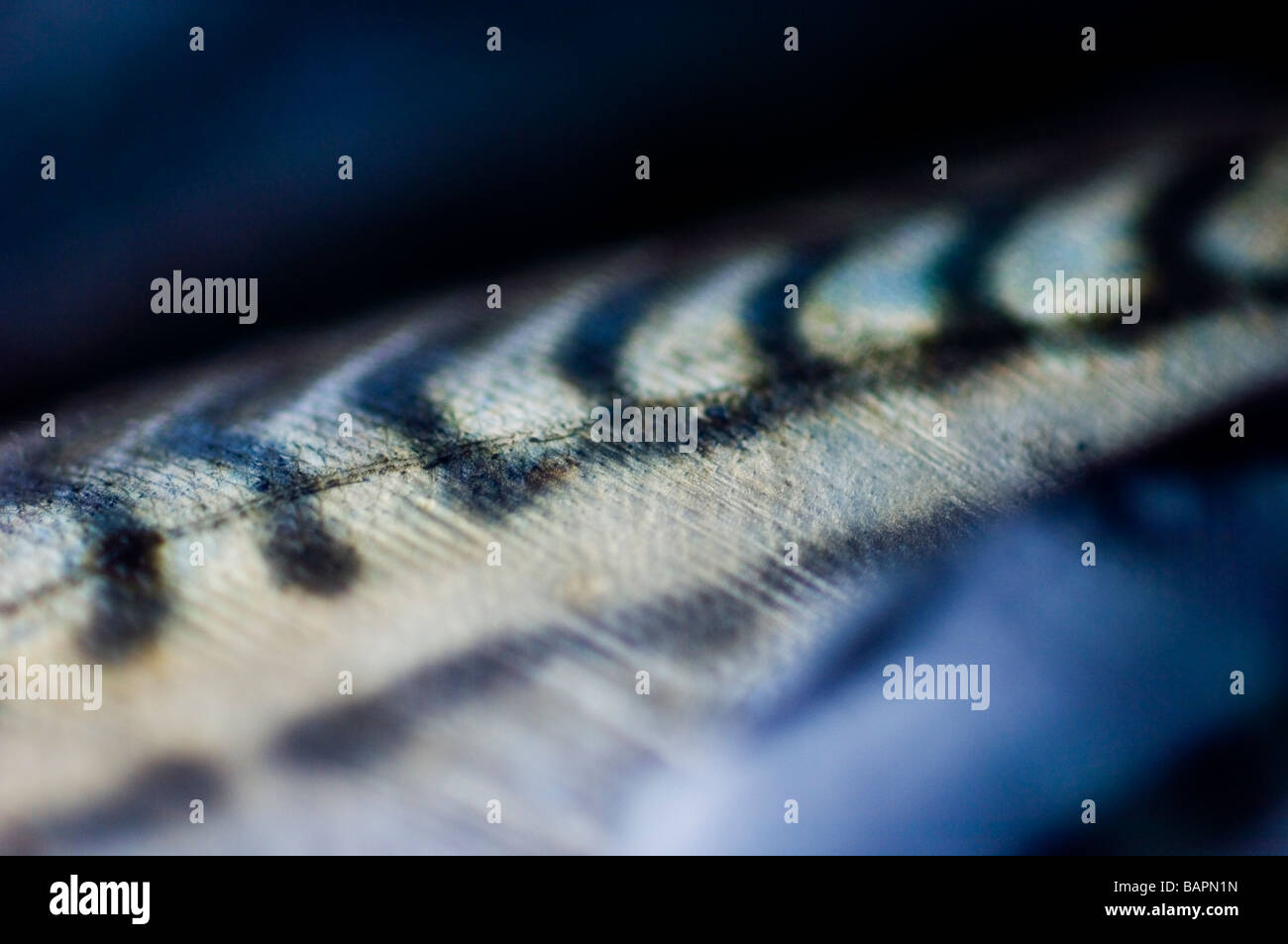 Scomber scombrus. Makrele Skalen, Nahaufnahme, Großbritannien Stockbild