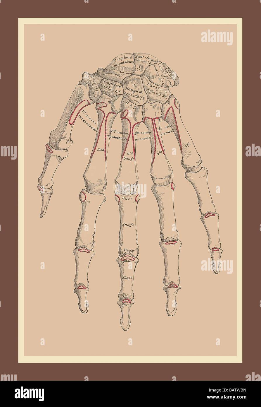 Ausgezeichnet Anatomie Und Physiologie Praxis Tests Knochen ...