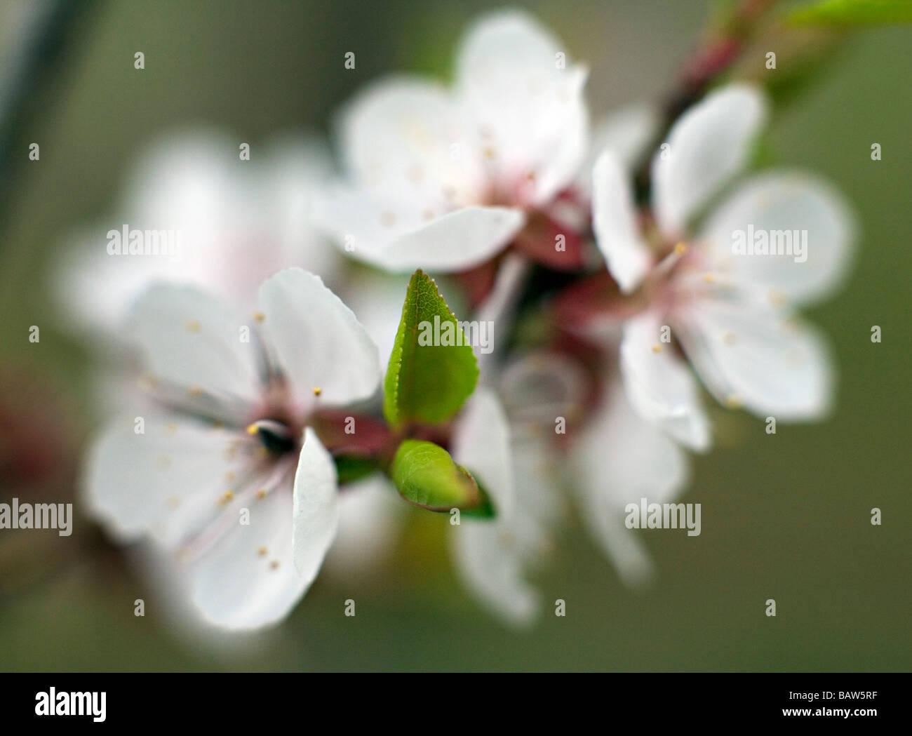 Nahaufnahme eines blühenden Kirschbaum Prunus Blumen Stockbild