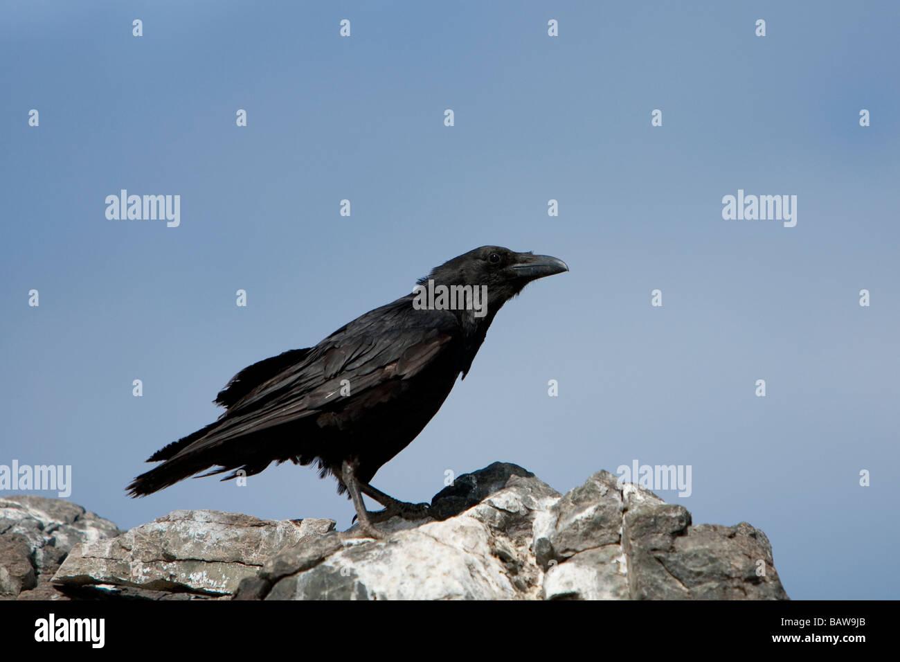 Kolkrabe Corvus Corone Rabe sitzt auf Fels Isla San Benitos Baja California Mexiko Stockbild