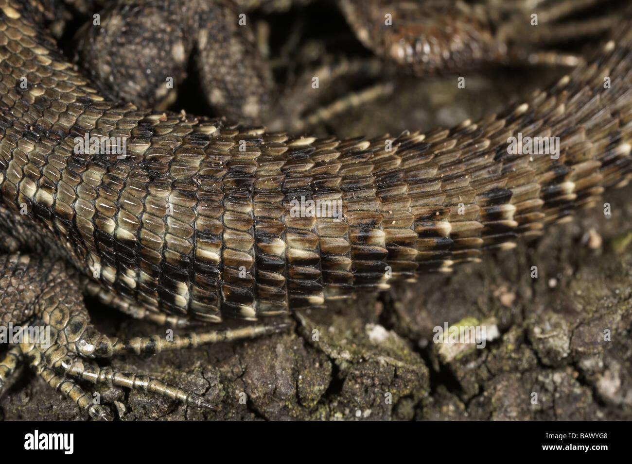 Nahaufnahme eines gemeinsamen oder Viviparous Eidechse s Schwanzes Lacerta Vivipara Allerthorpe gemeinsamen East Yorkshire UK Stockfoto