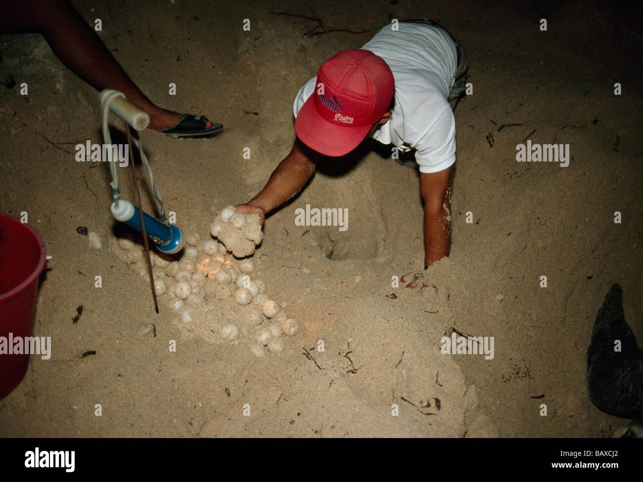 Ranger sammeln von Eiern vom nest, grünen Meeresschildkröte gestrandet Stockbild