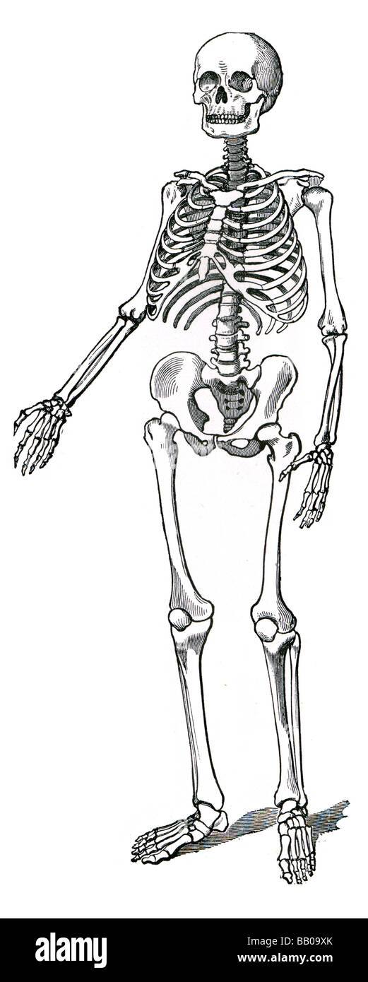 menschliches Skelett Wirbelsäule Skelett Rippen Rippe Schlüsselbein ...