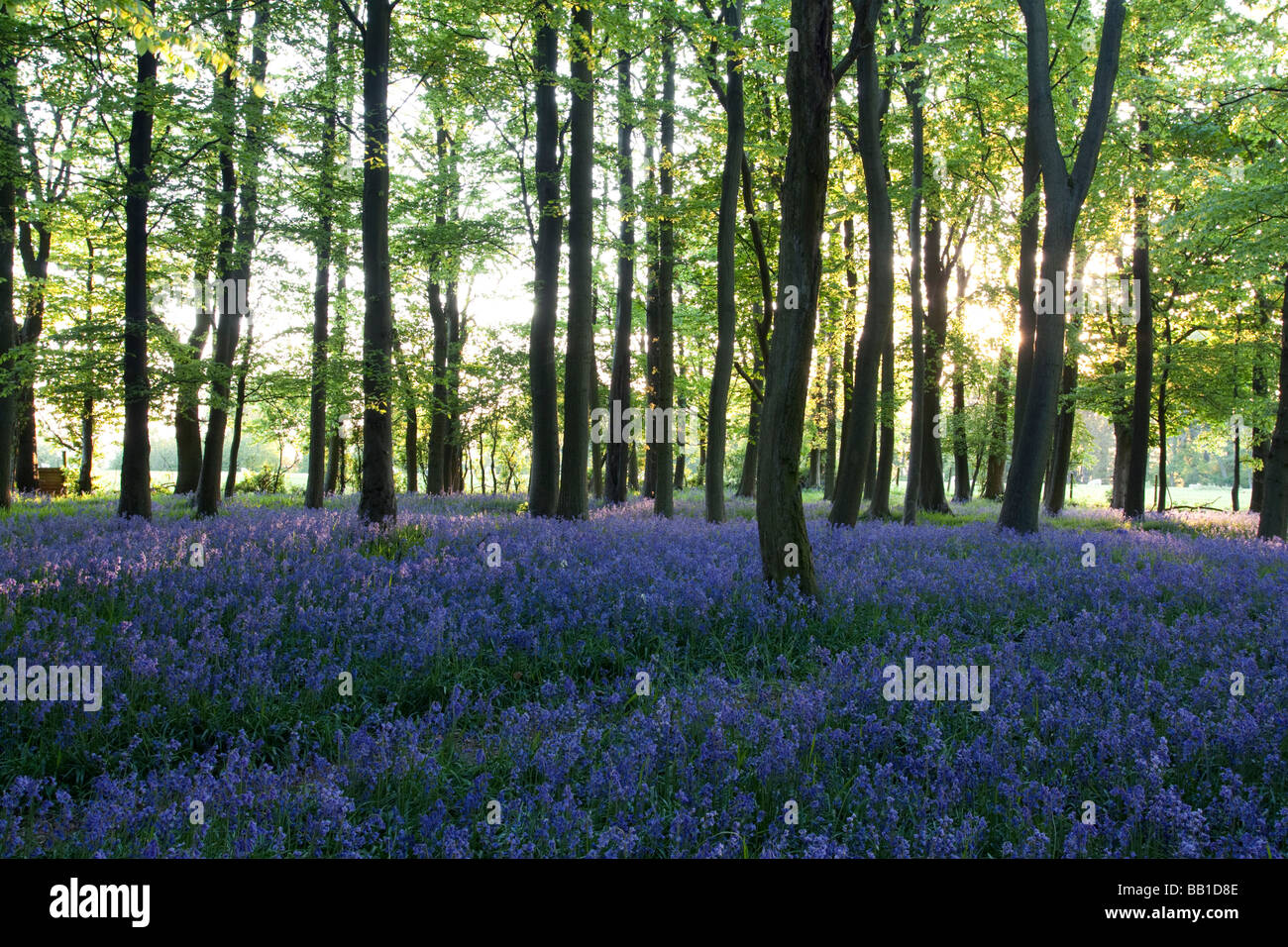 Ashridge Woods Glockenblumen - Buckinghamshire Stockbild