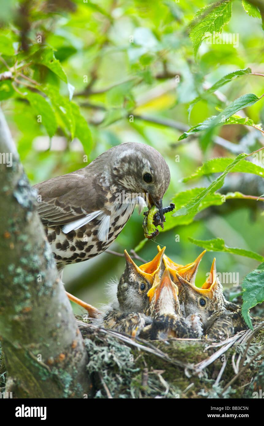 Ein Soor Turdus Ericetorum Fütterung vier junge Küken in ihrem Nest in einem Kirschbaum in Sussex Stockbild