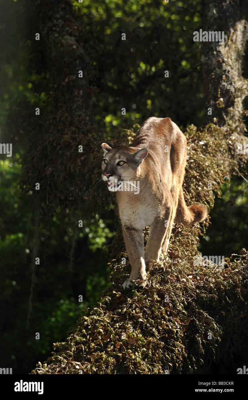 Florida Panther Puma Concolor Coryi Florida gefangen Stockbild