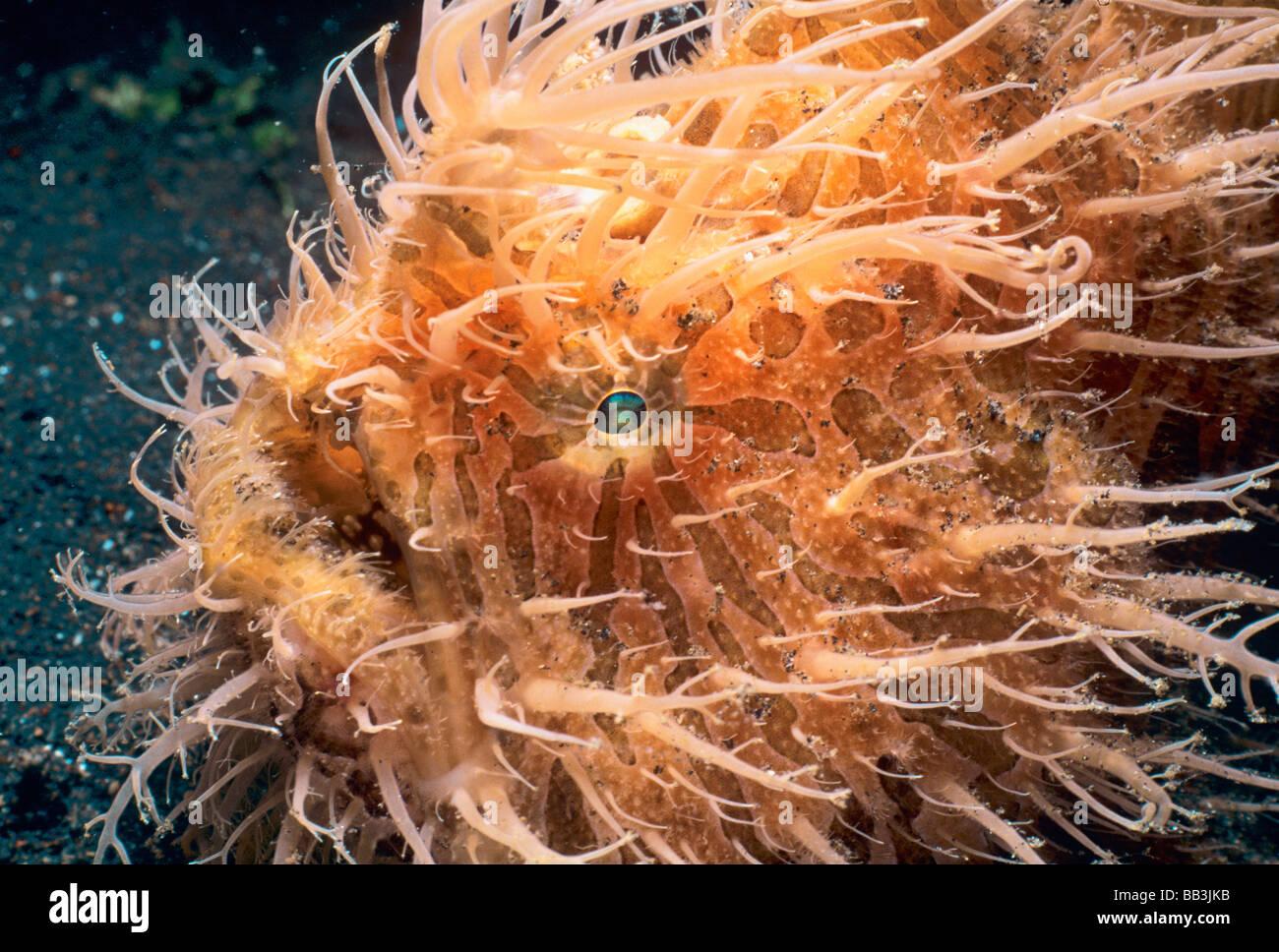 Haarigen Anglerfisch Seeteufel Antennarius Hispidus Lembeh Strait Celebes-See Sulawesi Indonesien Stockbild