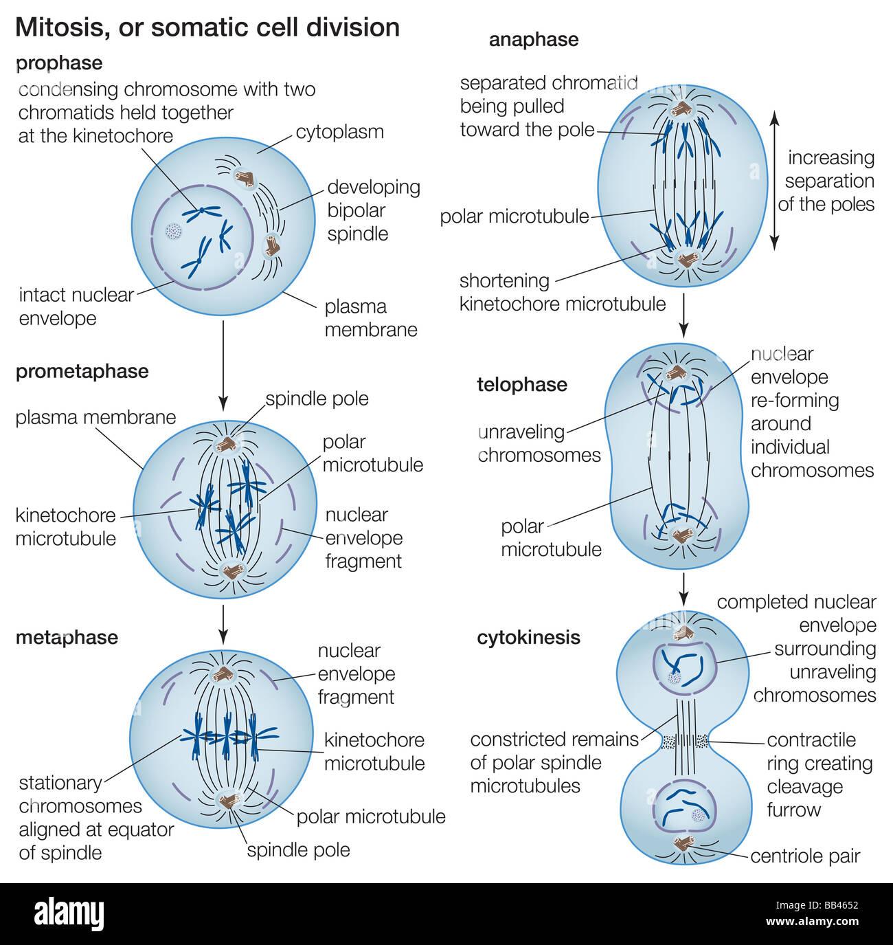 Der Prozess der Zellteilung durch Mitose Stockfoto, Bild: 24064238 ...