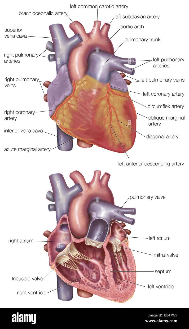 Das Diagramm zeigt das äußere und einen Querschnitt des menschlichen ...