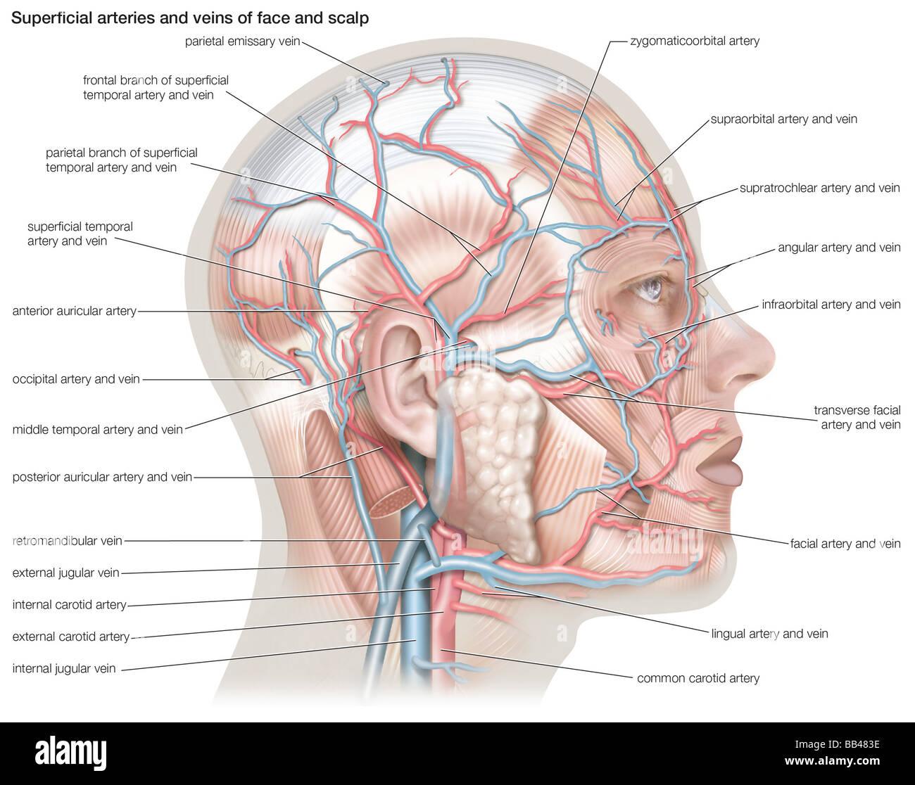 Groß Teile Des Gesichts Anatomie Bilder - Menschliche Anatomie ...
