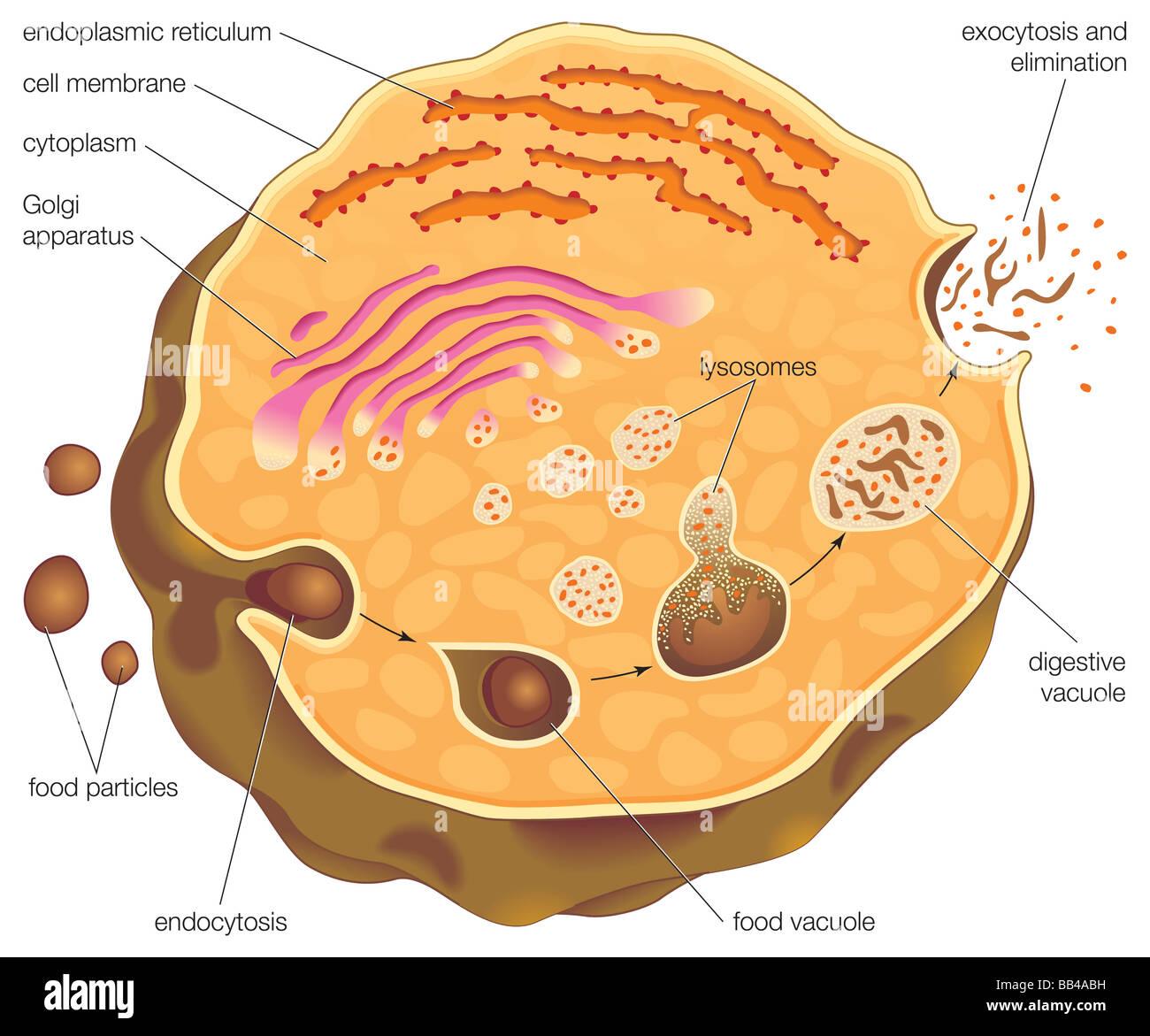 Diagramm zur Veranschaulichung intrazelluläre Verdauung und die ...