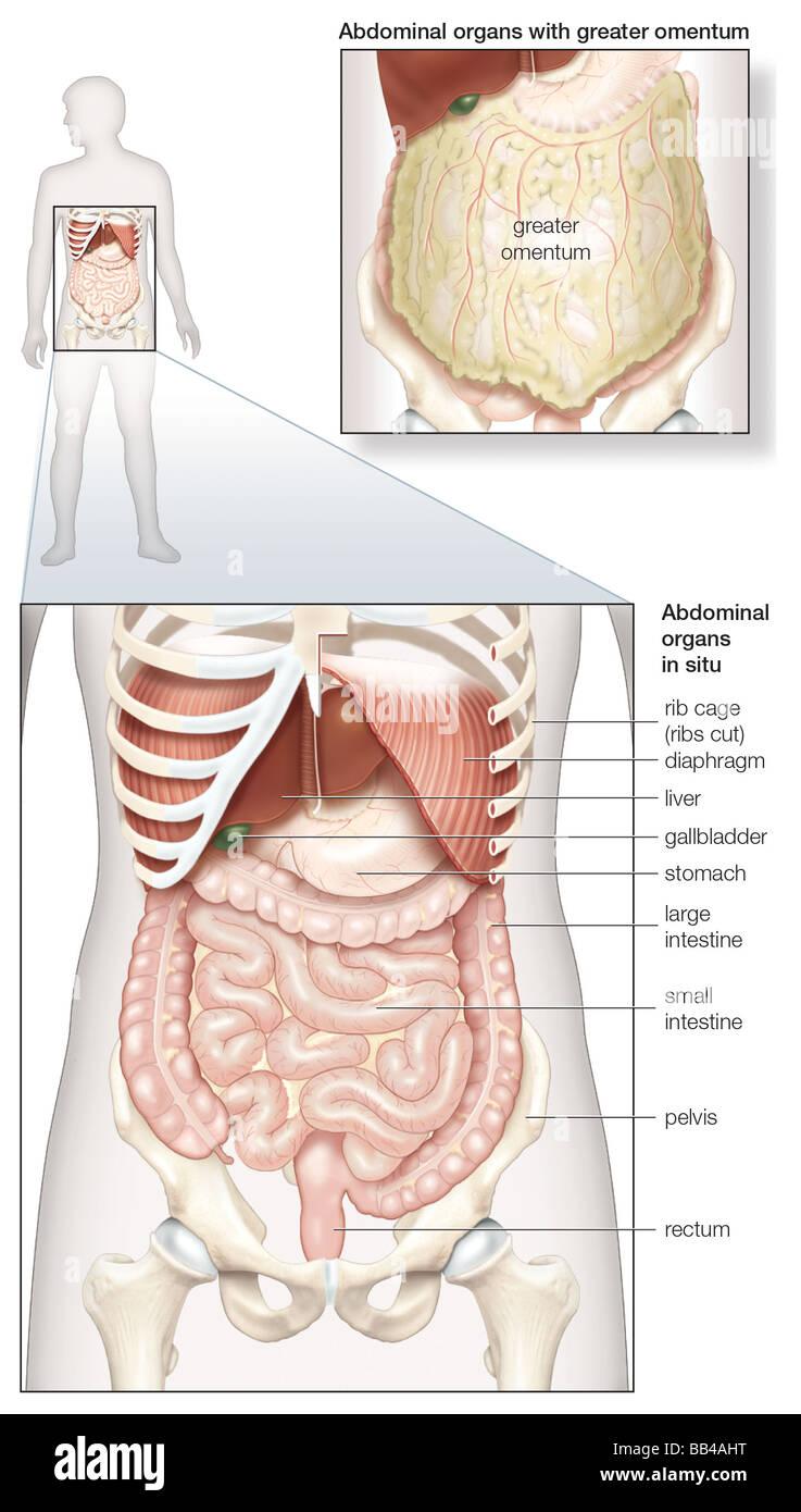 Diagramm der menschlichen Bauchhöhle, zeigt die Verdauungsorgane an ...