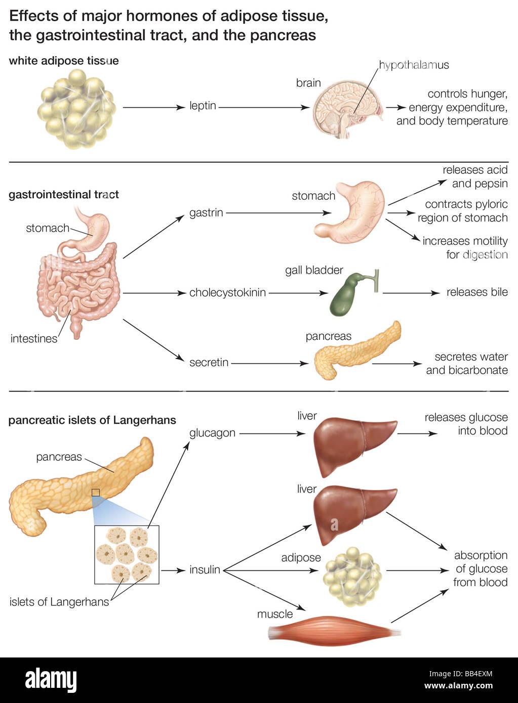 hormone fettgewebe