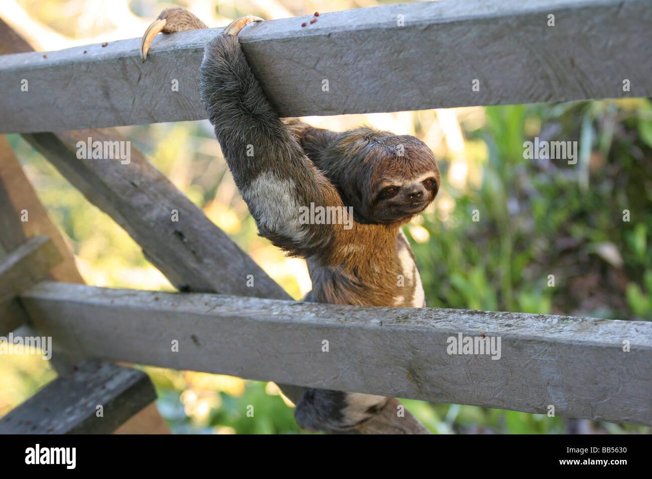 Klettergerüst Um Baum : Dreifingerfaultier klettergerüst ein baum im amazonas regenwald