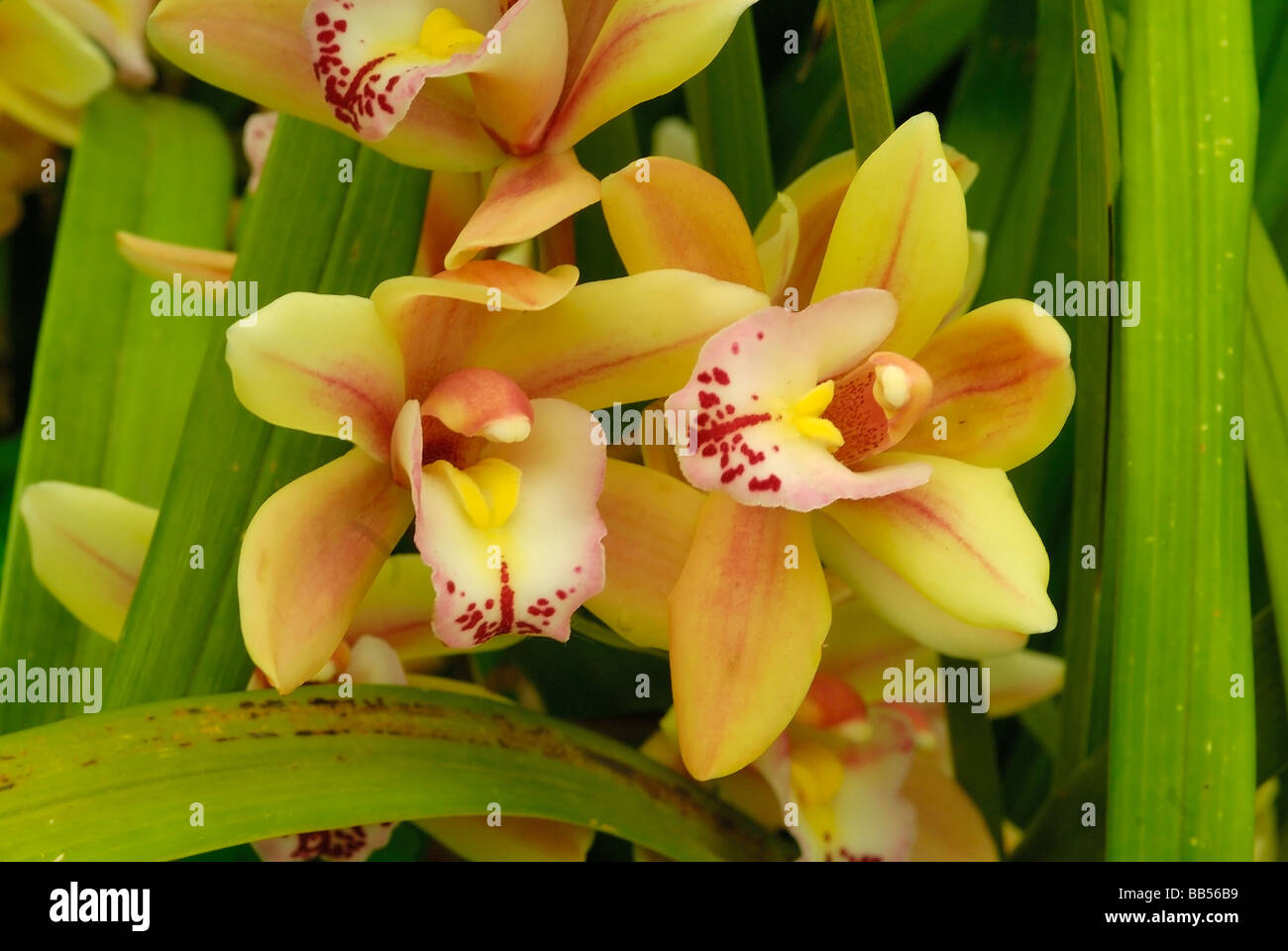 Cymbidium SP. Hybrid Orchidaceae Orchideen Blumen Blume Pflanze Pflanzen Hortocultural Horizontal Roberto Nistri Stockbild