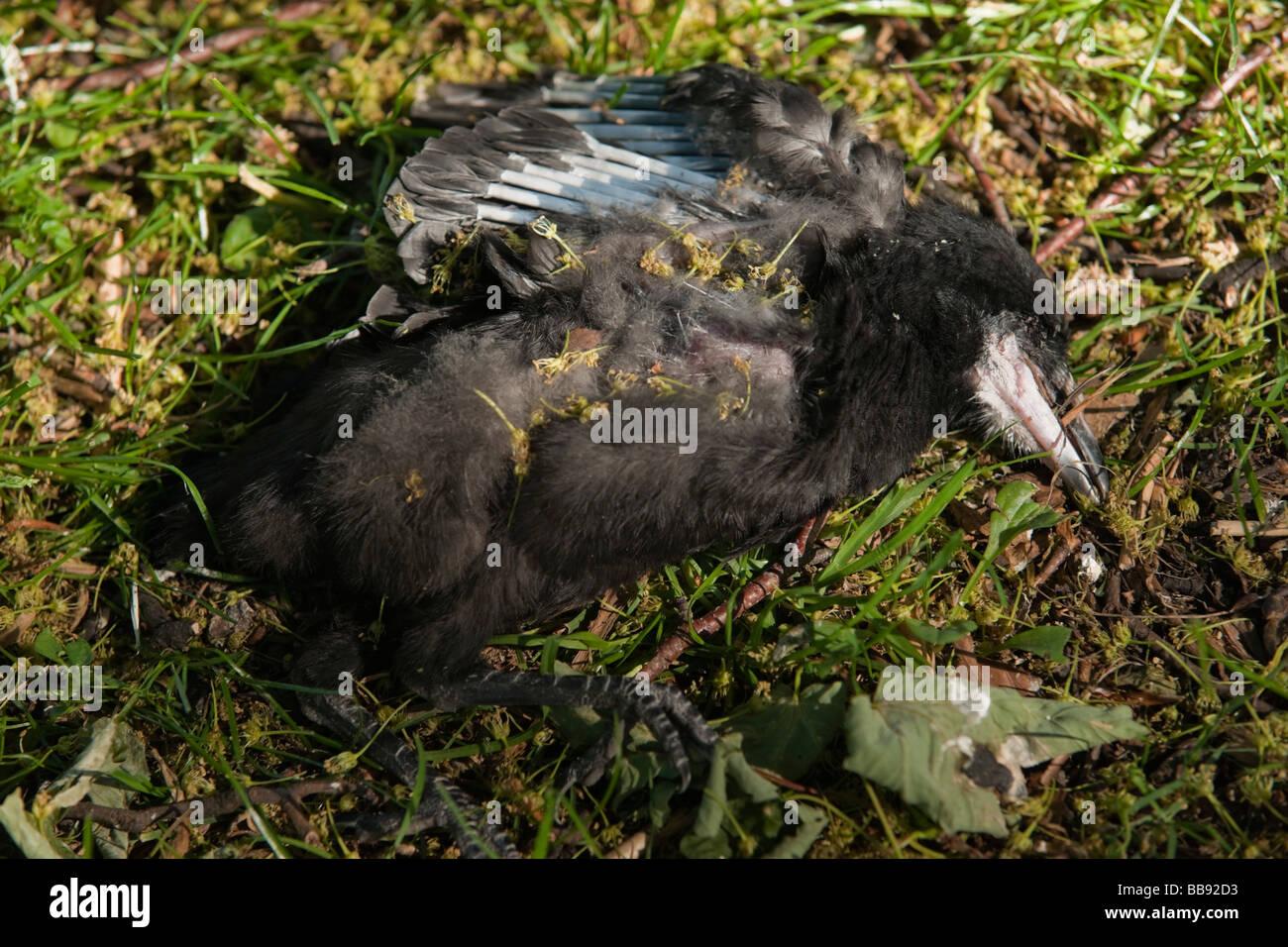 Tote Krähe eingebettet gefallen oder vom nest Stockbild