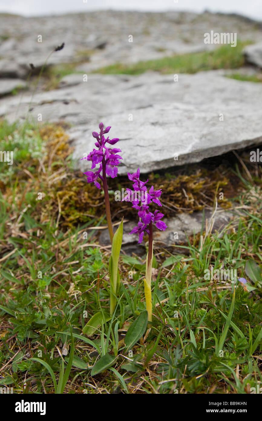 Frühe lila Orchideen Orchis Mascula wächst in Kalkstein des Burren County Clare Irland Irland irische Stockbild