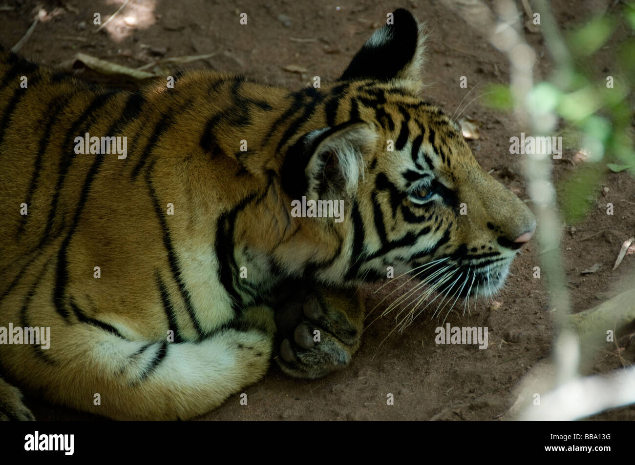 Bengal Tiger in Bandhavgarh National park Stockbild