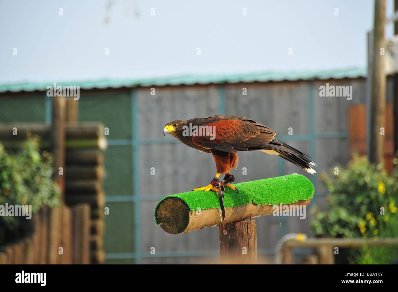 ein Harris oder Altrosa Hawk von einem Falknerei Zentrum bereit zum abheben Stockbild