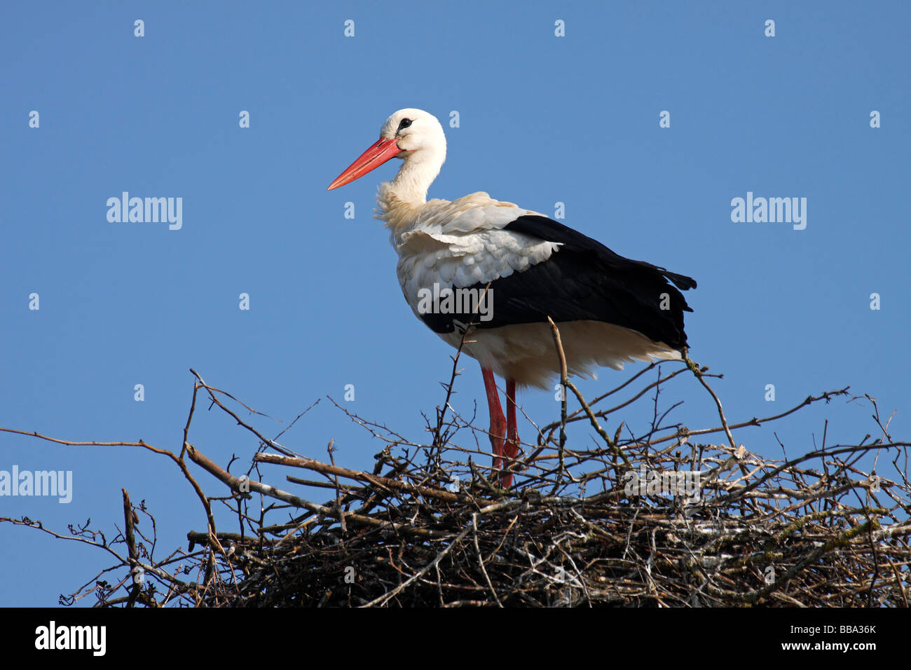 Weißstorch (Ciconia Ciconia) auf Nest, Storchendorf Bergenhusen, Schleswig-Holstein, Deutschland Stockbild