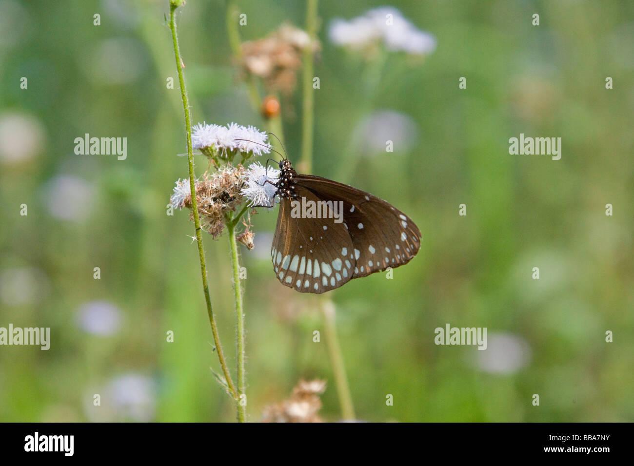 Brauner Schmetterling Papillon Futterung Auf Blume Royal Hitwan