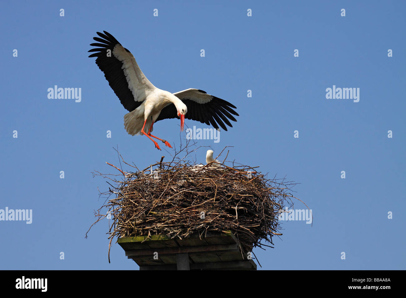 Weißstorch (Ciconia Ciconia) fliegen, Nest, Nestbau und Zucht Weißstörche, Storchendorf Bergenhusen, Stockbild