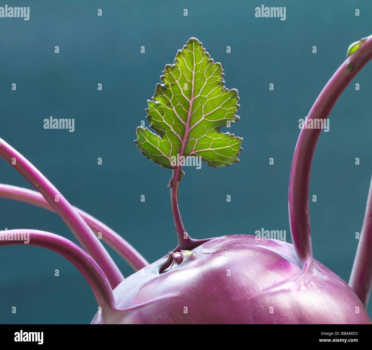 Blatt aus lila Kohlrabi wächst Stockbild
