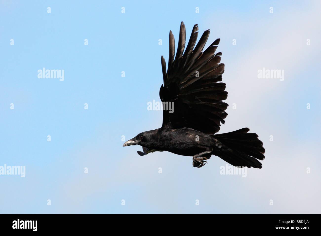 Amerikanische Krähe im Flug Stockbild