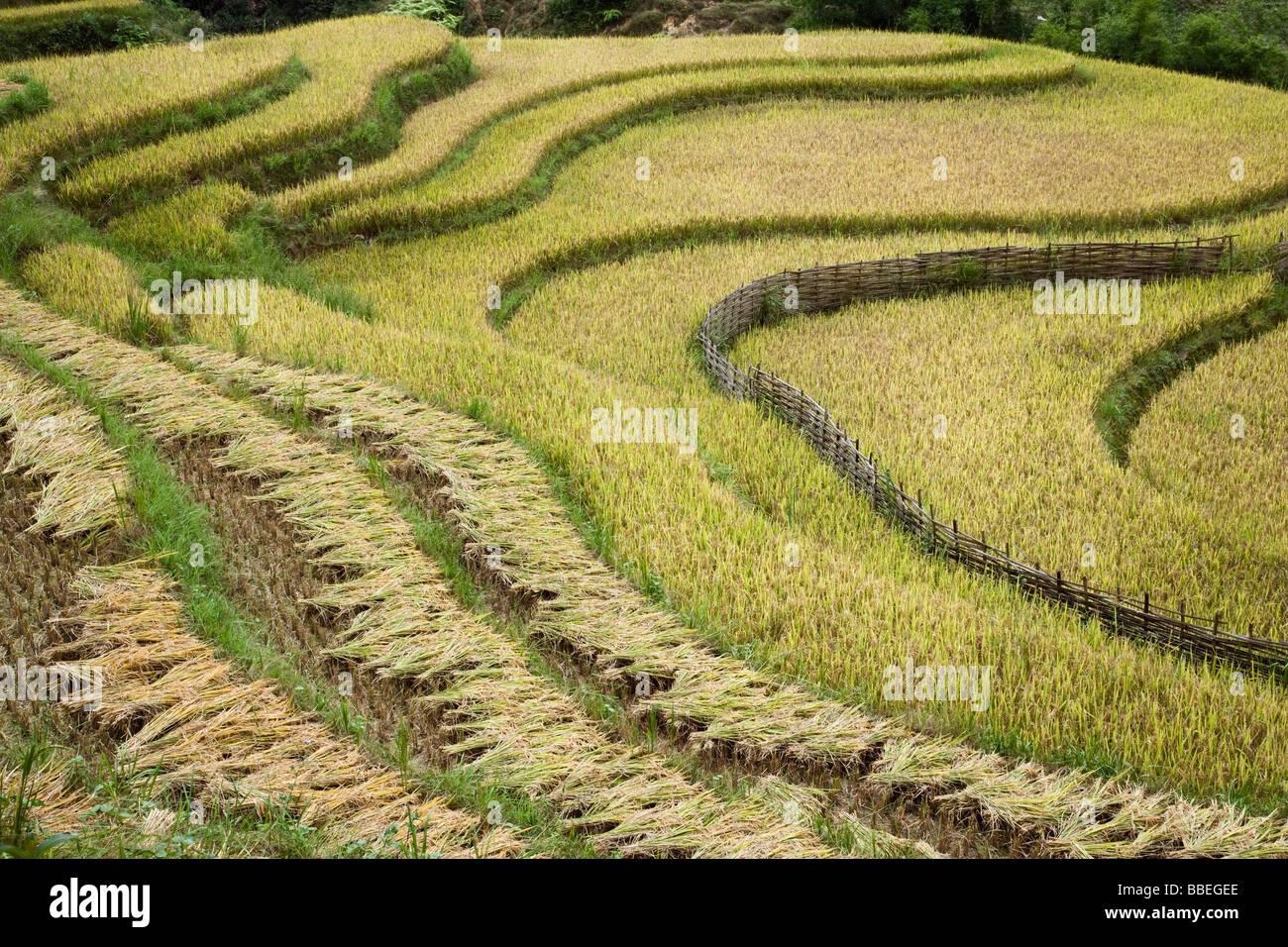 Reis Felder, Sa Pa, Provinz Lao Cai, Vietnam Stockfoto
