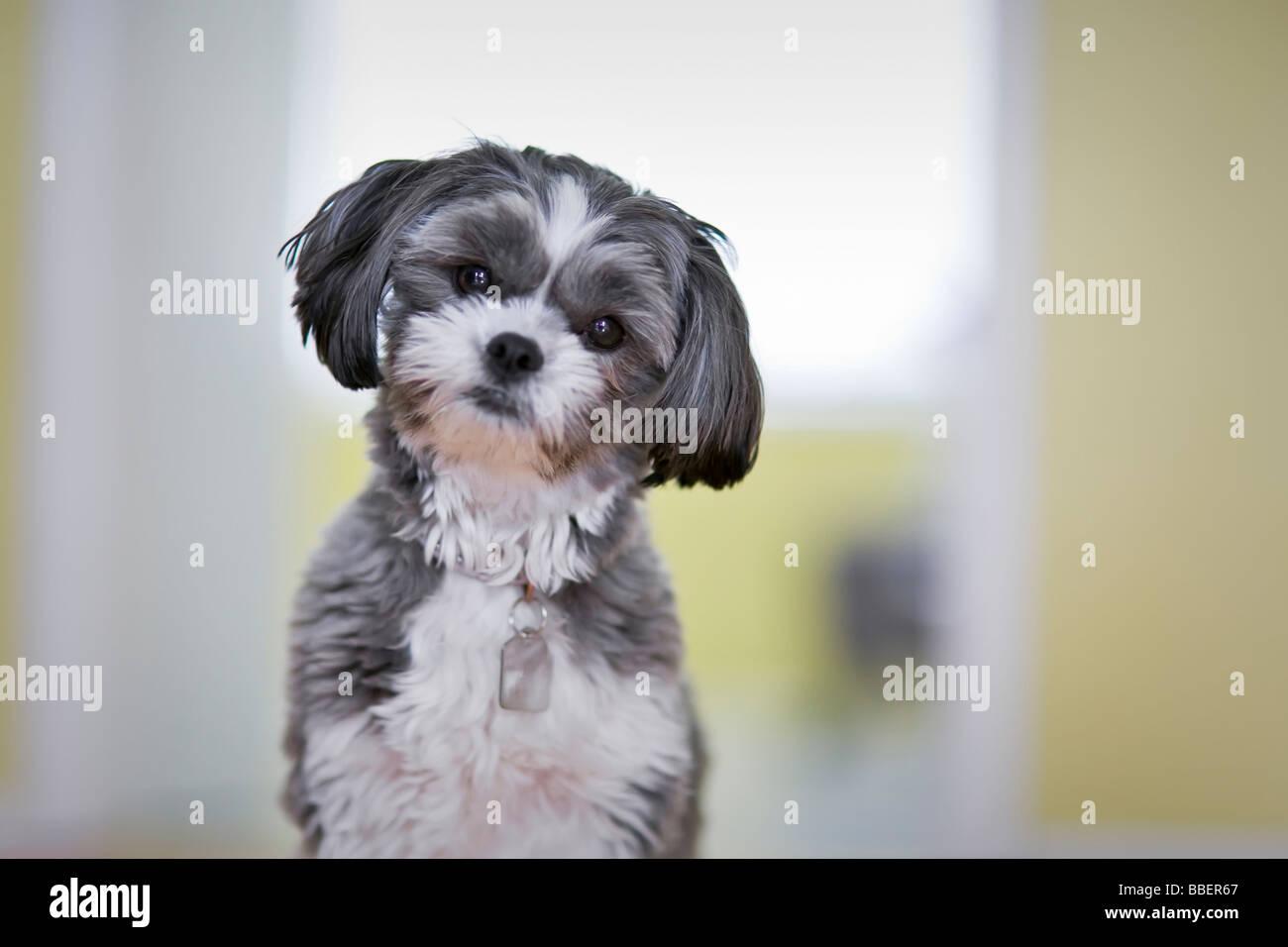Portrat Von Einem Weiblichen Shih Tzu Malteser Hund Stockfotografie Alamy