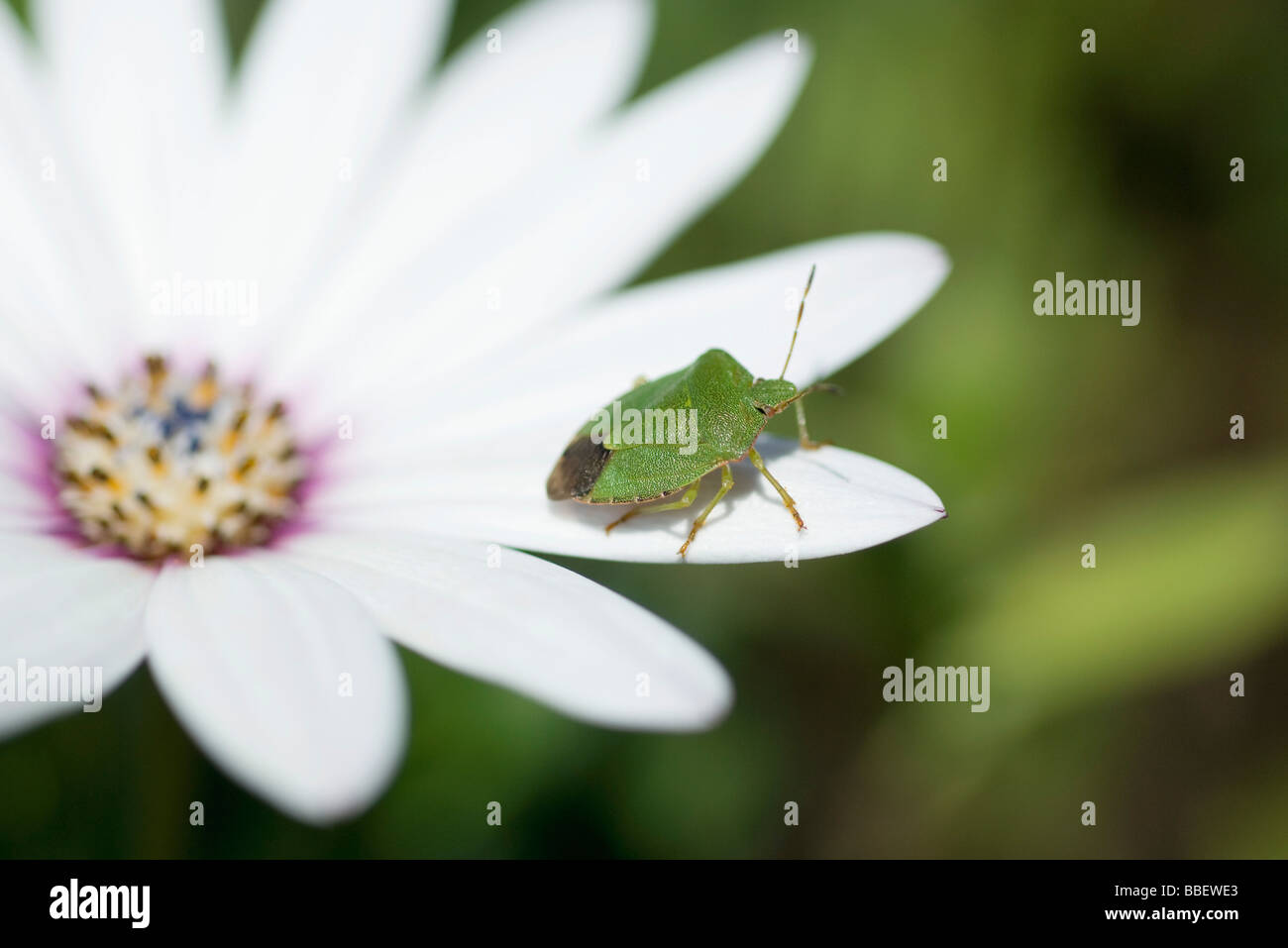 Grüne Stink Bug auf Blume Stockbild