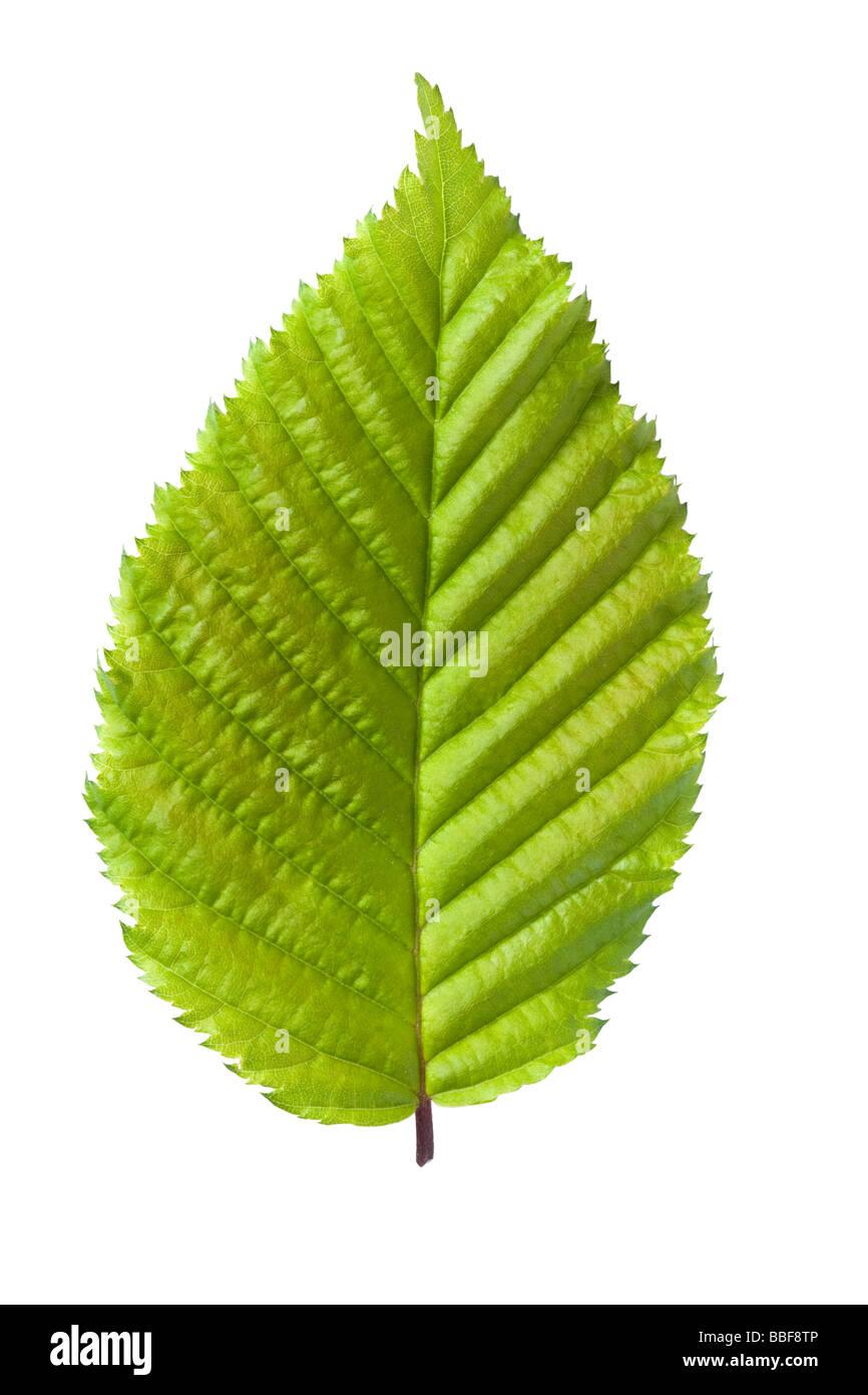 Blatt aus Hainbuche, Carpinus Betulus. VEREINIGTES KÖNIGREICH. Stockbild