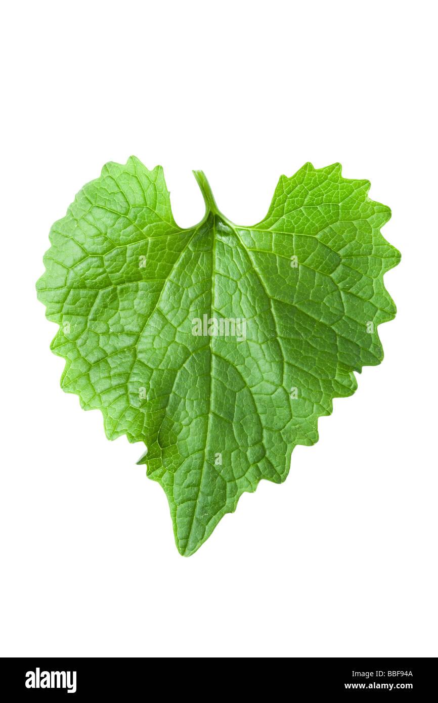Herzförmige Blätter. Von Knoblauchsrauke Alliaria Petiolata. UK Stockbild