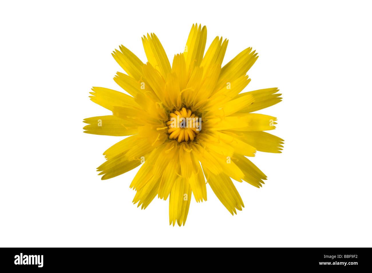 Katze-Ohr, Hypochaeris Radicata, Blume. VEREINIGTES KÖNIGREICH. Stockbild