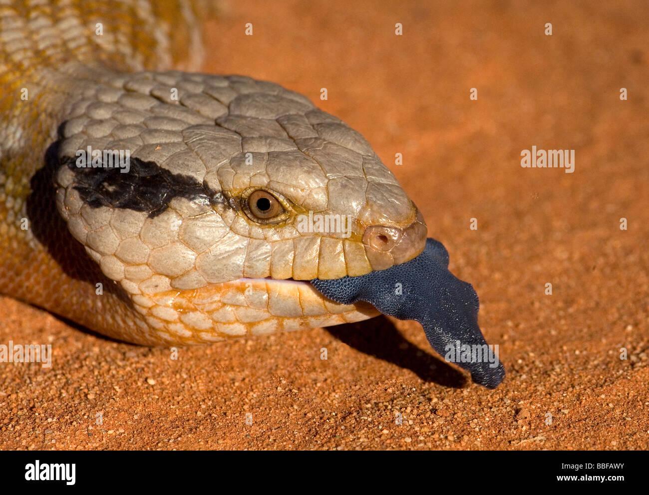 Zunge des Centralian blaue Zunge australische skink Stockbild