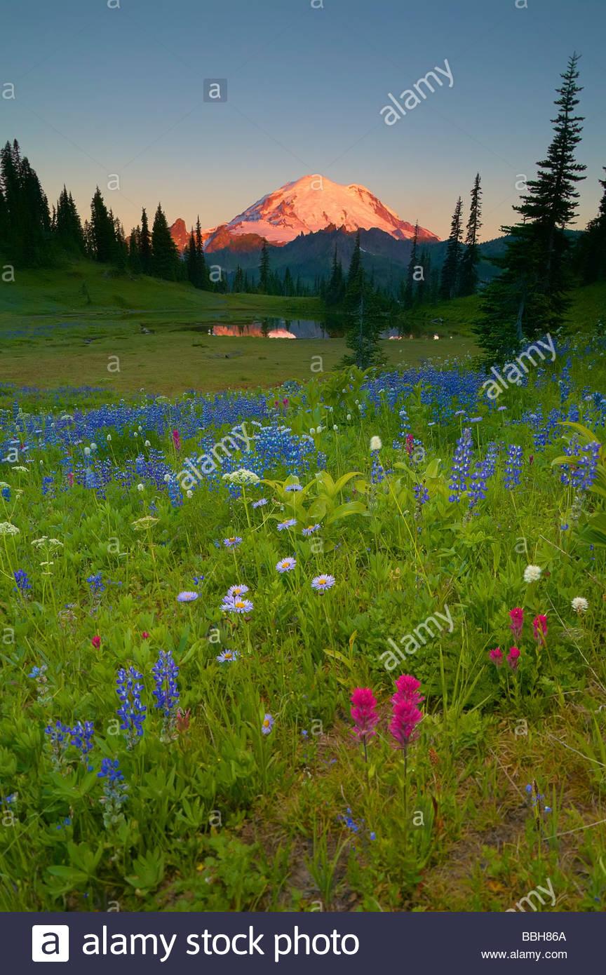 Eine Vielzahl von Sommer Wildblumen blühen auf einem Hügel in der Nähe von Chinook Pass, Washington, Stockbild