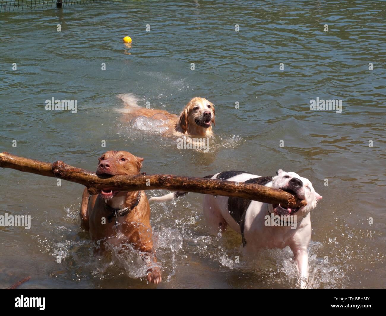 Zwei Pitbulls tragen einen Zweig aus dem Wasser am Hundestrand Stockbild