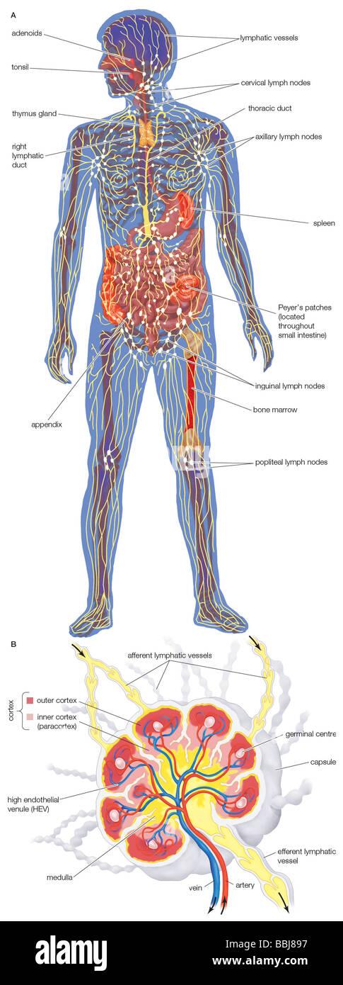 Das menschliche Lymphsystem, die Lymphgefäße und lymphatischen ...