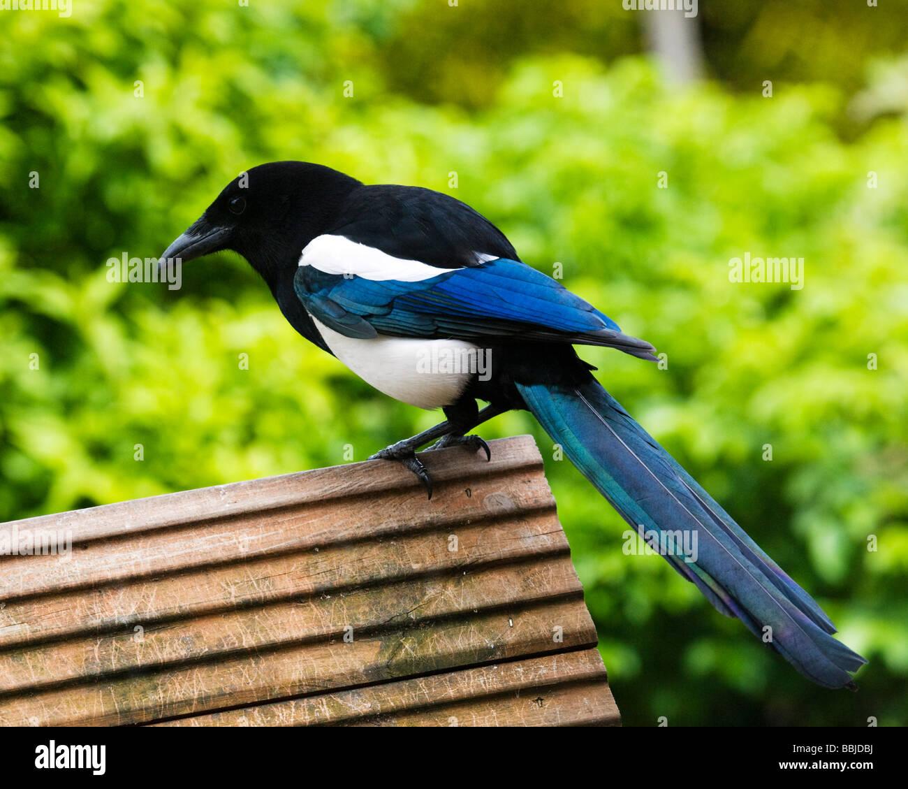 Europäische Elster, Pica Pica, hoch oben auf einem Vogelhaus. Stockbild