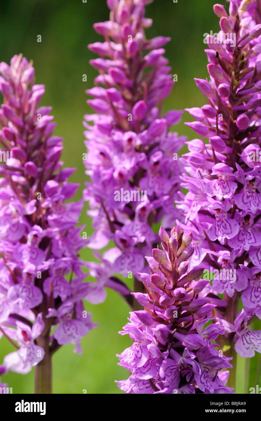 Gruppe von gemeinsamen gefleckte Orchideen bei Fulbourn Fen Cambridgeshire England UK Stockbild