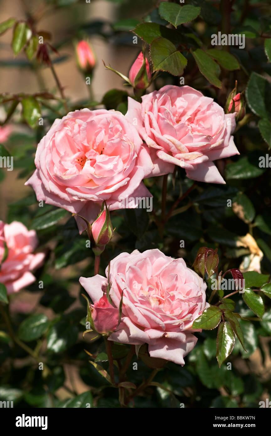 """Blüten und Knospen der Kletter rose 'Star Perfektion""""; Stockbild"""